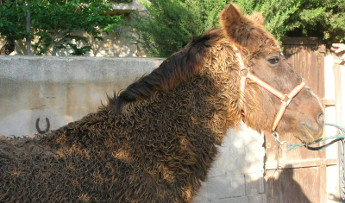 hirsutismo-cushing caballo