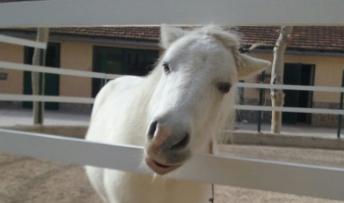 Paralisis facial pony