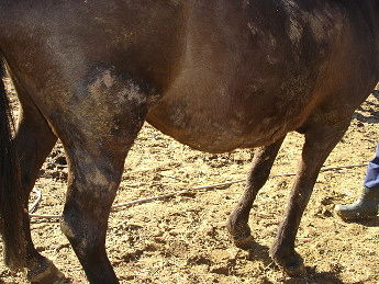Prurito caballo