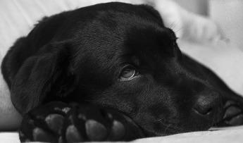 piometra perra