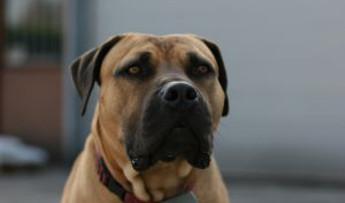 ¿Qué pasa en una torsión de estómago de un perro? ¿Se puede prevenir?
