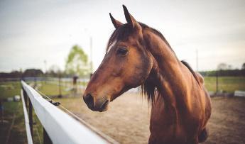 caballo anemia