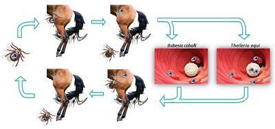 ciclo piroplasmosis